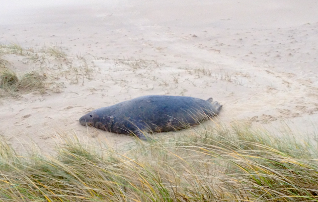 Bull Seal Well Up the Beach at Horsey