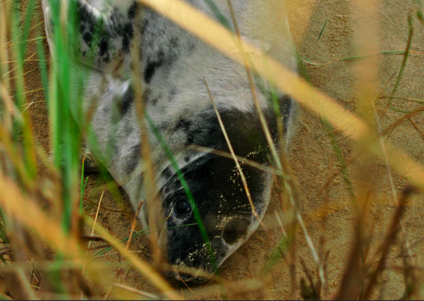 Gey Seal Pup Trying to Stay Hidden in the Marram