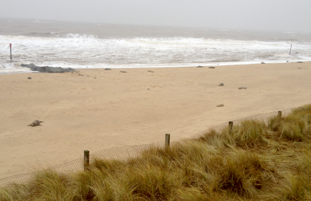 The Beach at Horsey Gap: the 'Boulders' ARe Grey Seals