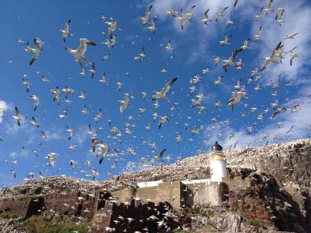 Gannets over the Castle & Lighthouse on Bass Rock