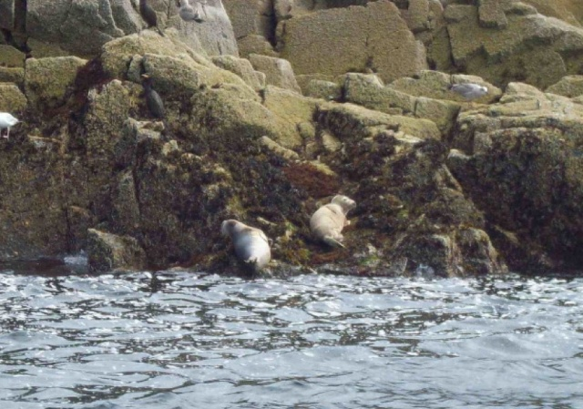 Two Young Harbour Seals Hauled Out at Craigleith